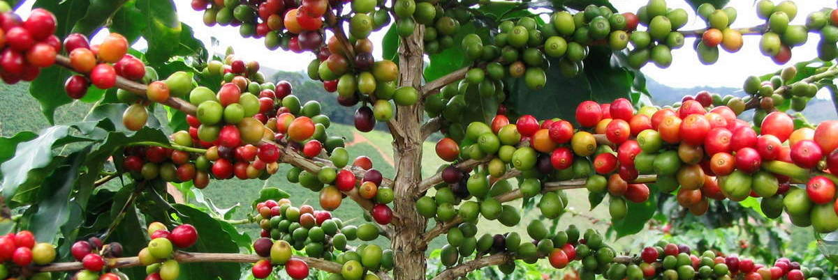 COFFEE-BEANS-050-WIDE