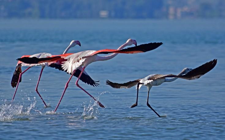 flamingo, Ναύπλιο