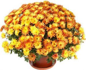 A pot of beautiful orange autumn chrysanthemums, ΟΚΤΩΒΡΙΟΣ, ΦΘΙΝΟΠΩΡΟ, OCTOBER, MONTH, ΜΗΝΑΣ, nikosonline.gr